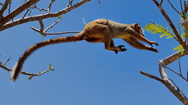 Lemure in salto Madagascar