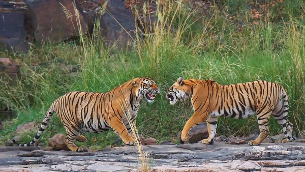 Durante i viaggi fotografici con Fotografia e Viaggi si possono realizzare immagini come queste alle tigri